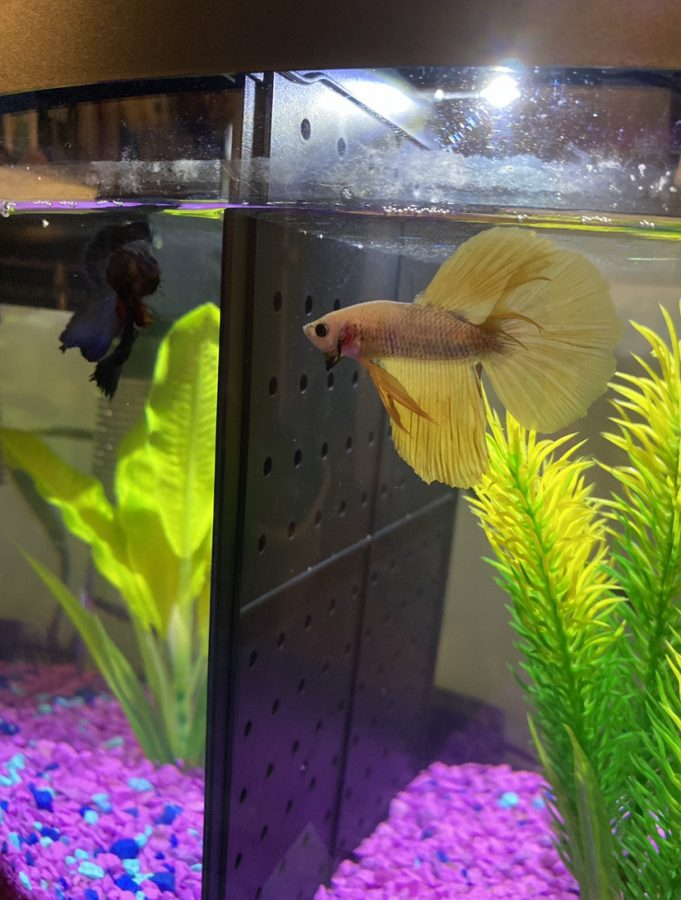 This is an example of how the tank divider can allow two betta fish to be in the same tank together.