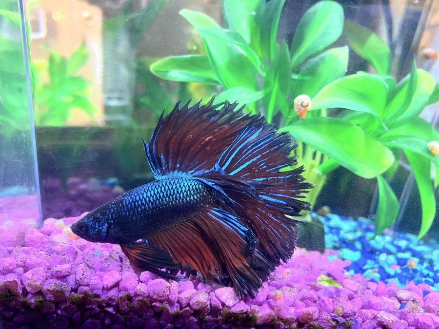 This picture shows how colorful some Betta fish can be, and he even has some shiny scales